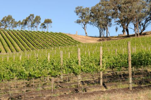 gioiello-estate-wineyard-molesworth.jpg